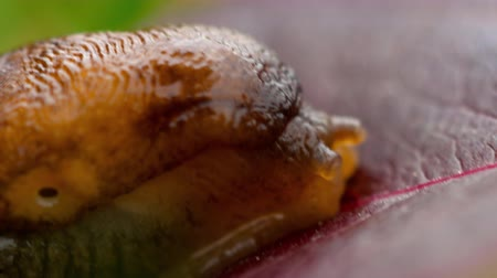 měkkýš : Closeup of brown slug
