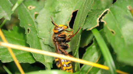 calabrone : Close-up of a hornet