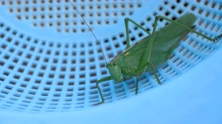 grasshopper : Big green locust female