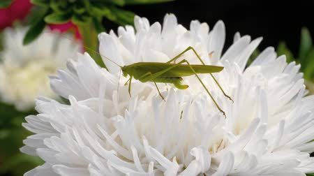 owady : Green locust female on flower Wideo