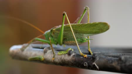 antena : Big green locust male