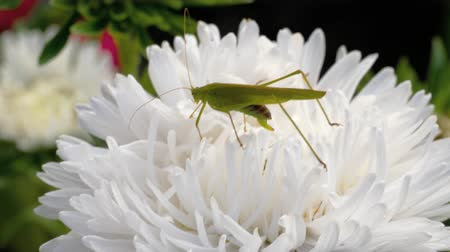 grasshopper : Green locust female on flower Stock Footage