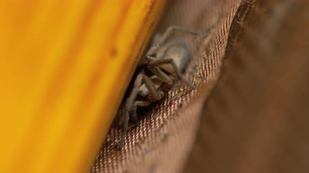 cross spider : Small brown spider, close-up