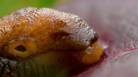 terrestre : Closeup of brown slug