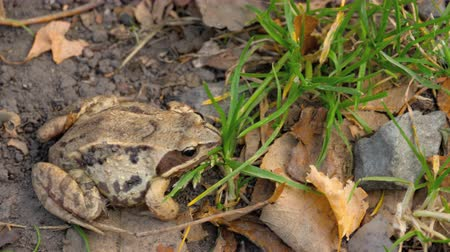 rana : Brown frog in grass