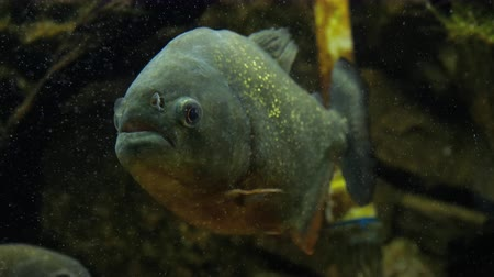 пресноводный : Piranha closeup in the aquarium