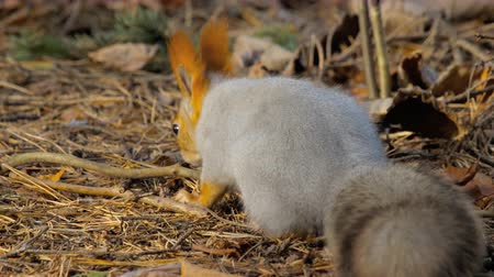 cheirando : Squirrel in autumn forest