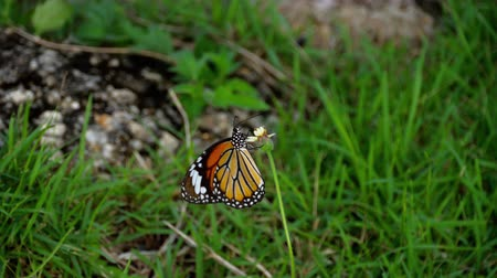 monarca : Monarch butterfly on flower