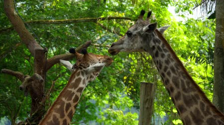 саванна : Two Giraffes in savannah Стоковые видеозаписи