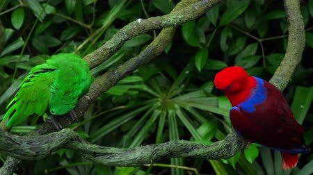 amazonka : Green and red couple parrots Wideo