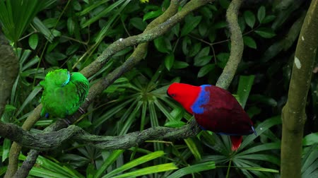 papagaio : Green and red couple parrots Stock Footage