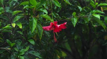 hibiscus : Red hibiscus flower under rain