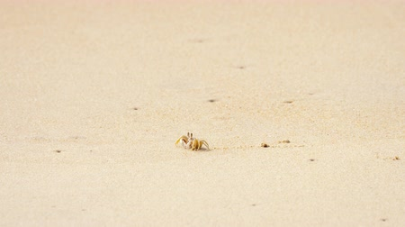 horned : Crab on the sandy beach