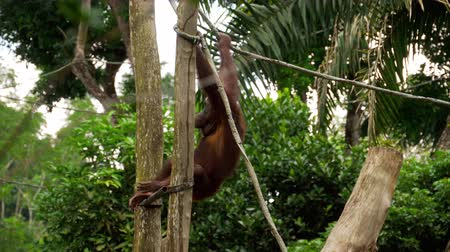 monkey : Orangutan on the tree Stock Footage