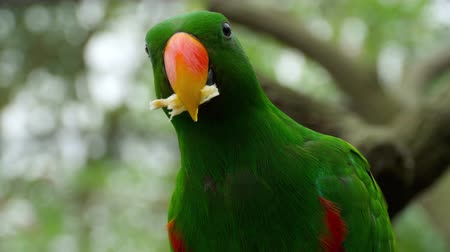 beak : Eclectus parrot eat sugar cane