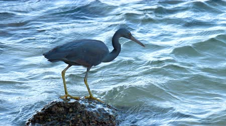 nemes kócsag : Pacific reef heron hunts for fish