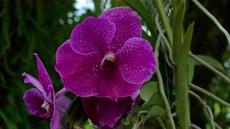 orquídea : Blooming twig of purple orchid