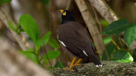 bird eye : Common Myna -Acridotheres tristis-