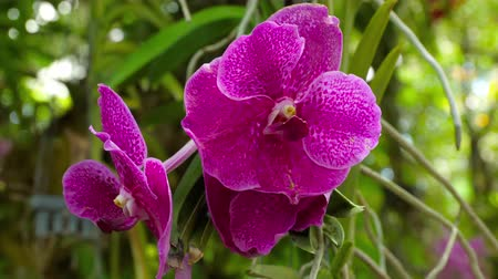 orquídeas : Blooming twig of purple orchid