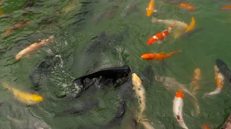 goldfish : Koi fish and silver carp in pond eating. Stock Footage