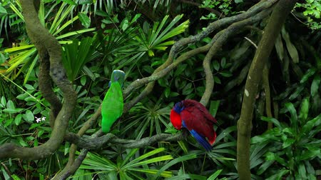 amazonka : Green and red couple Eclectus parrots Wideo