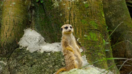 wilderness : Meerkat looking out Stock Footage