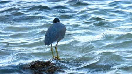 morph : Pacific reef heron hunts for fish