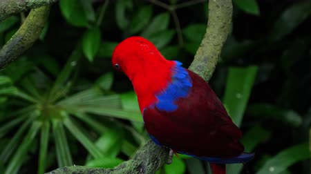 floresta tropical : Red Eclectus parrot