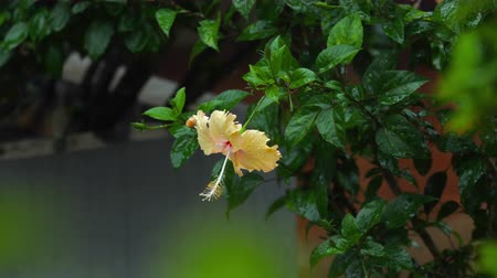 hibiscus : Cream hibiscus flower under rain