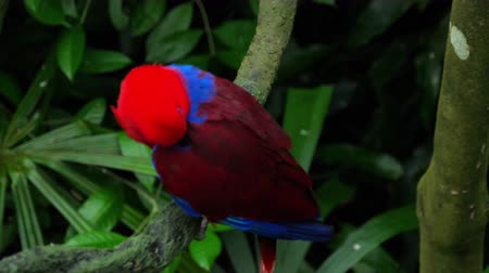 amazonka : Red Eclectus parrot