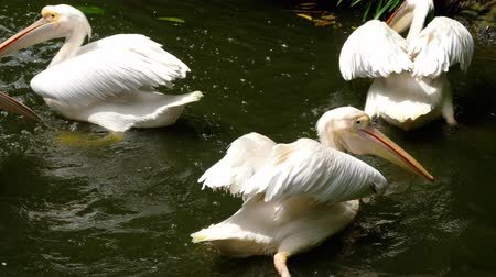 pelikan : Eastern white pelicans Wideo