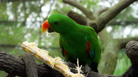 selva tropical : Eclectus loro come caña de azúcar Archivo de Video