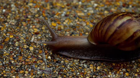 balçık : Garden snail crawling on pavement