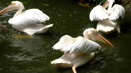 pelicans : Eastern white pelicans Stock Footage