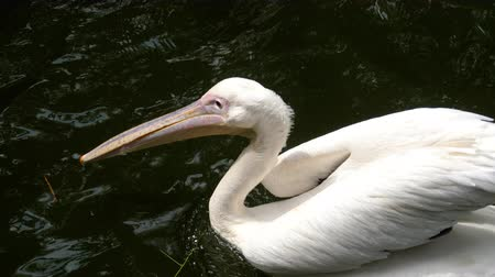 gaga : Eastern white pelicans Stok Video