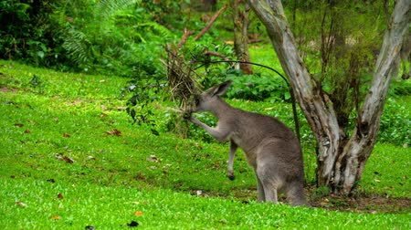 canguru : Kangaroo eating grass on a safari park