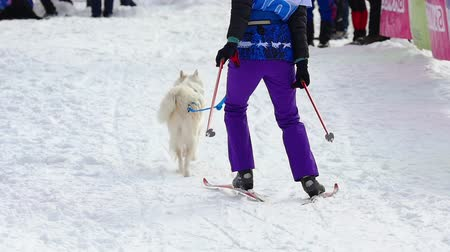 ハスキー : Husky dog and woman athlete during skijoring competitions
