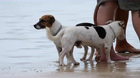 терьер : Jack Russell Terrier dogs on the beach
