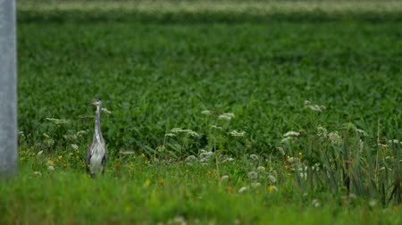 airone : Grey heron standing in field of farmland Filmati Stock