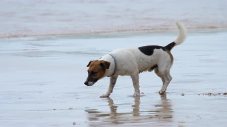 zvedák : Jack Russell Terrier dogs on the beach