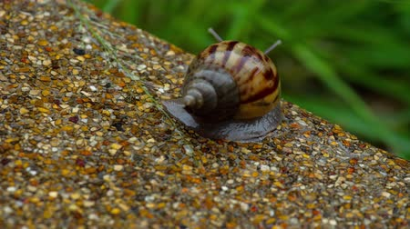 食用 : Garden snail crawling on pavement