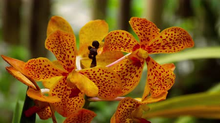 phalaenopsis : Blooming twig of tiger orchid