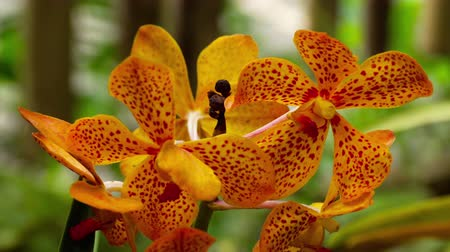 orquídeas : Blooming twig of tiger orchid