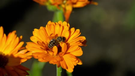 calendula officinalis : Bee on a orange marigold