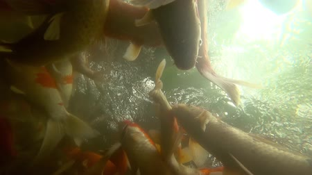 goldfish : Underwater Koi fish in pond eating.