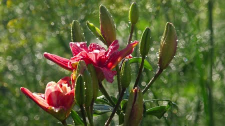 flower buds : Pink Lily flower after rain