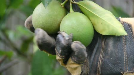 limon : A hand in a gardening glove holds two green lemons on a tree,