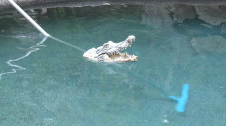 aligátor : Floating crocodile head toy floats over a long handle brush cleaning the bottom of the swimming pool.