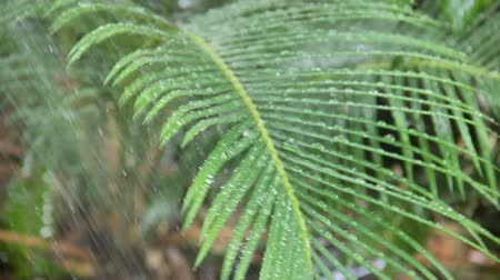 hosing : Close up of water being sprayed on the fronds of a palm tree branch.