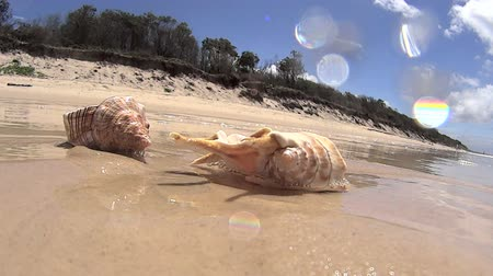 оболочка : Wave comes in and washes over a pair of seashells on the beach with underwater shot of waves.